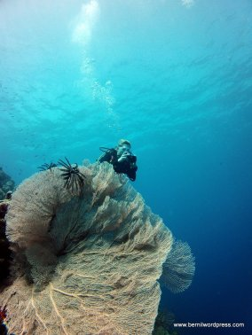 Diver above a Gorgonian fan coral.